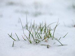 Pushing Through. (austinrecio) Tags: winter white snow macro green grass 35mm austin newengland olympus rhodeisland blizzard zuiko recio e620