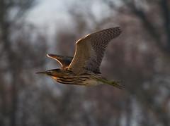 Bittern @ de BiesBosch National Park, Netherlands. (Richard Verroen) Tags: sunset nationalpark wings zonsondergang vlucht flight herons biesbosch bittern reigers vleugels nationaalpark roerdomp