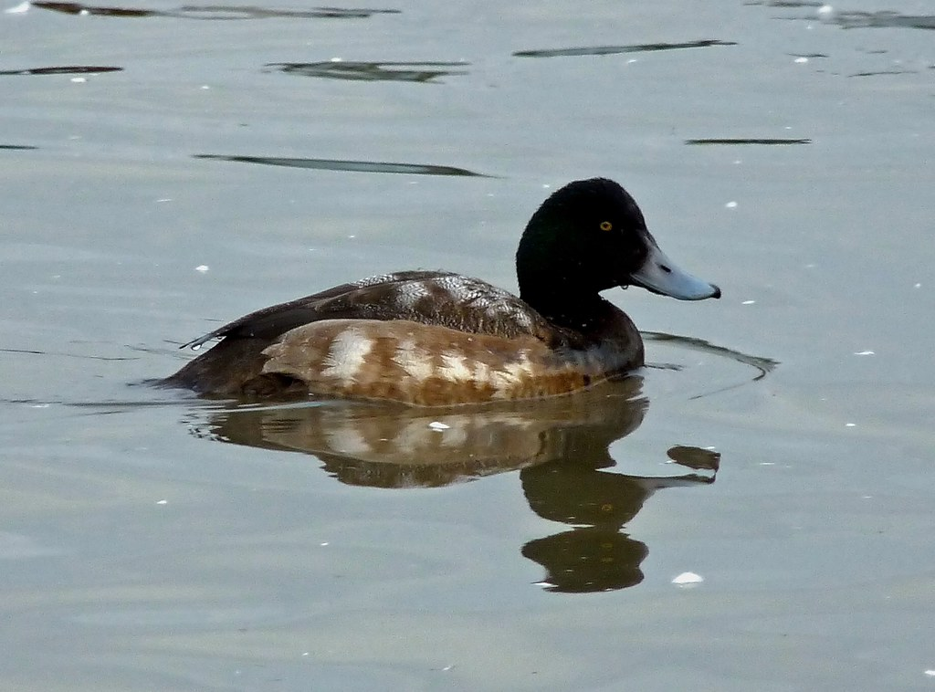 23838 - Greater Scaup, WWT Slimbridge