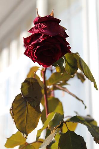 rosebud dark face