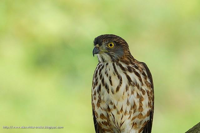 鳳頭蒼鷹-亞成-Crested Goshawk (juvenile)