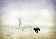 L'extrieur du cheval exerce une influence bnfique sur l'intrieur de l'homme. (monilague) Tags: winter horses horse cloud white mist snow tree nature animal fence season landscape cheval nikon noir hiver scene arbres neige nuages paysage animaux champ brume saisons clture cielsky mirabel cheveaux timinohio moniquelagu