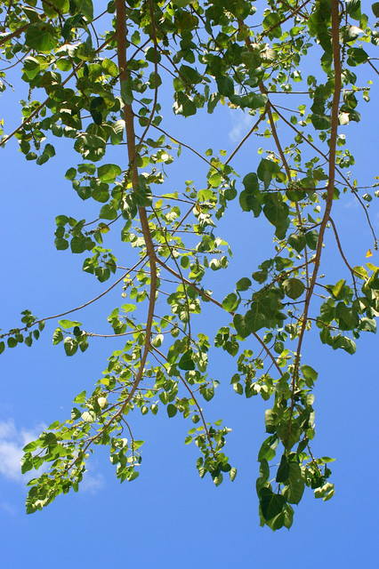 Leaves of the sacred Bodhi tree are suitably heart-shaped