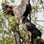 20101229_BZE Zoo_King Vulture_2523.jpg thumbnail