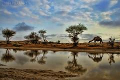 Camel Life HDR- Explore Front Page (TARIQ-M) Tags: sky cloud reflection tree water landscape bravo desert camel riyadh saudiarabia hdr app  canonefs1855  newvision     naturepoetry   canon400d  tariqm tariqalmutlaq peregrino27newvision kingofdesert 100606169424624226321postsnajd12sa