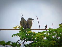 Namorados (Digenes Arajo) Tags: love birds couple amor casal valentinesday pardal   diadosnamorados