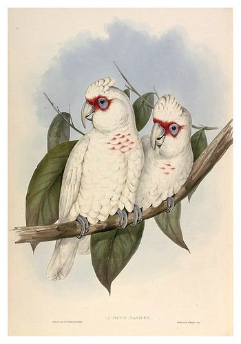 028-Cacatua de pico largo-The Birds of Australia  1848-John Gould- National Library of Australia Digital Collections