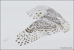 20110112-0138 Snowy Owl (Earl Reinink) Tags: snow raptor owl snowyowl owlinflight snowyowlinflight earlreinink wwwearlreininkcom wwwipaintca