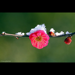 (Dalang55555) Tags: pink red snow flower plum