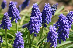 Spring Purple (bigbrowneyez) Tags: flowers blue light sunlight green nature happy spring pretty dof purple bokeh clusters tiny stems bunch cheer delicate grape lightshade wintersend grapehyacinth springhope springpurple screamsspring flickrscream