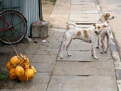 Собаки и кокосы