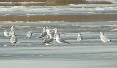 Gulls on the River Ice (Jimbo in Jersey) Tags: winter snow cold tree bird ice water pine river frozen newjersey snowy seagull gull cedar salem brrrr elsinboro