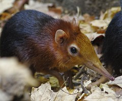 Elephant Shrew (B. Gohacki) Tags: elephant its out zoo dc washington there nationalzoo blackandrufous shrewrhynchocyonpetersi