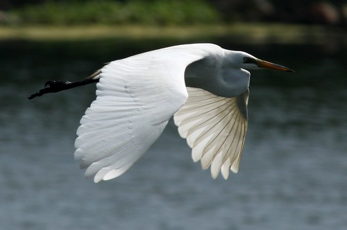 Great Egret - 4/16/2010