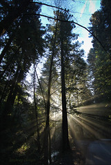 Canyon Redwoods at Sunrise (LifeLover4) Tags: california ca trees usa mist nature fog canon outdoors oakland interestingness interesting hiking canyon hike explore redwood rays 1020mm 130 circularpolarizer pinehurst huckleberry f35 ebrpd sequoiasempervirens efs1022mmf3545usm explored 550d t2i crepusculars ebparksok sanleandrocreek lifelover4 stickneydesign californiatnc11