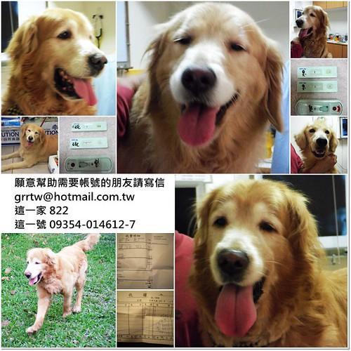 「助認養」去年12月從中和收容所救出的兩隻黃金獵犬~需要醫療資源助認養~如有多餘能力懇請支援,謝謝您~20110124