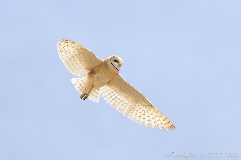Barn-Owl-051102