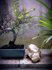 Bonsai foto htc one s (qualità ridotta)