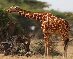 Reticulated Giraffe (Rainbirder) Tags: kenya ngc samburu giraffacamelopardalis reticulatedgiraffe giraffacamelopardalisreticulata somaligiraffe simplysuperb rainbirder