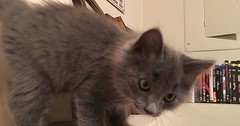 Off the charts on the cute scale. This is my foster kitten Christian Gray. via http://ift.tt/29KELz0 (dozhub) Tags: cat kitty kitten cute funny aww adorable cats