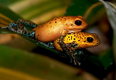 Strawberry Poison Dart Frog (Supervliegzus) Tags: oliemeulen strawberrypoisondartfrog mygearandmepremium mygearandmebronze mygearandmesilver mygearandmegold mygearandmeplatinum mygearandmediamond mygearandmeplatinium