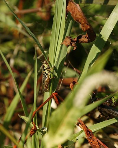 GrasshopperEmiquonNorthLevee09142010JGWard_MG_3845