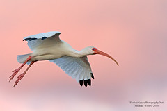 White Ibis in flight at Sunset  4926 (floridanaturephotography) Tags: sunset florida blueeyes ibis american wako pinksunset whiteibis eudocimusalbus pinkclouds albus eudocimus purplesunset threskiornithidae floridanature americanwhiteibis floridanaturephotography slbflying ibissunset