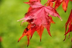 Autumn Acer (CunoCyn) Tags: autumn cambridge macro gardens closeup canon garden october warmth 85mm 15 85 cambridgebotanicalgardens 1585 canon85mm canon15mm canon60d 1585mm canon1585mm cunocyn