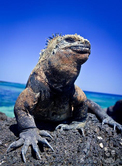 Iguana Up Close
