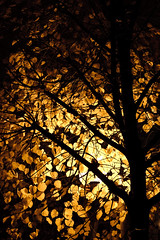 Vision of early autumn by night (Olivier H) Tags: light tree fall leaves night automne branch lumière automn nuit arbre feuilles branche lumire