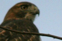 redtail on branch 1
