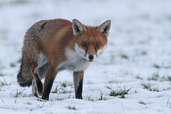 Fox In The Snow (Dan Belton ( No Badger Cull )) Tags: autumn red snow nature animal mammal cub native leicestershire fox kits cubs kit bellesebastian loughborough vulpesvulpes thefoxinthesnow