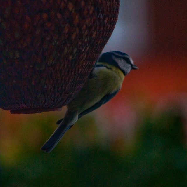 051210_ little tit #2