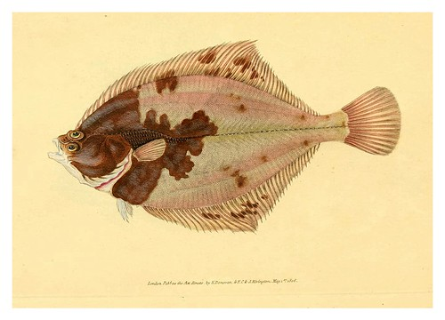 015-The natural history of British fishes 1802-Edward Donovan