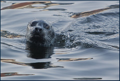 One of the many wild Seals at the moment in Galway docks Ireland. (Mick Bourke.) Tags: ireland wild nature seal galwaydocks canon500d canon2xextender canon7020028is