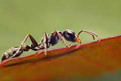 (Techuser) Tags: macro nature bug insect backyard close wasp reverse hymenoptera pseudomyrmex soligor2835