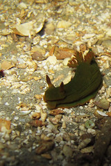 Nudibranch (Peter.Thurgood) Tags: diving nudibranch shorediving blairgowriepier