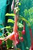 Fuchsia 'Brighton Belle' (pennyeast) Tags: flower garden botanical fuchsia capetown onagraceae pae papaalphaecho