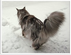 Maxwells Gespr fr Schnee und das Resultat - Maxwells sens of snow and the result (Jorbasa) Tags: schnee winter pet snow animal cat germany deutschland hessen mainecoon maxwell katze result kater tier tomcat resultat wetterau cc100 jorbasa blacksilverclassictabby sensofsnow gesprfrschnee
