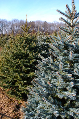 A Blue Spruce vs a Fraser Fir