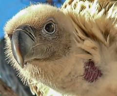 Der Vogel der Weihnacht (sterreich_ungern) Tags: christmas xmas portrait bird nature animal weihnachten vulture