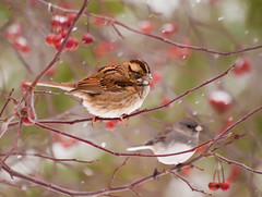 I Heard a Bird Sing (JacquiTnature) Tags: winter snow nature birds snowflakes olympus aves flurries snowfall zuiko crabapples darkeyedjunco juncohyemalis whitethroatedsparrow zonotrichialeucophrys