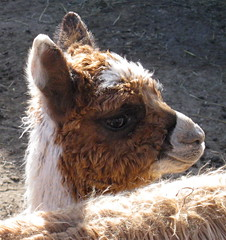 London Dairy Alpacas