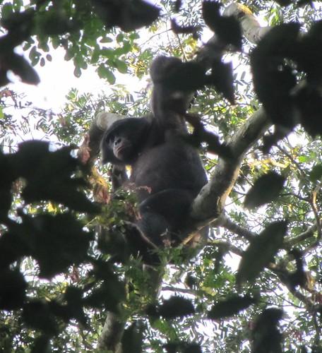 bonobo 8 west of Loidjo