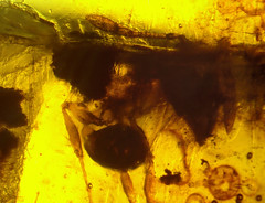 Cretaceous New Jersey amber (90-94 MYO) - very rare ant (Formicidae, myrmicinae ...?) (leth.damgaard) Tags: new macro beautiful closeup bug insect poster fossil amber newjersey ancient perfect raw pics postcard ant nj picture diversity insects bugs postcards buy jersey mineral creatures insekt rare bursztyn jantar description extinct anders raf fossils bernstein ambre arthropod rav mbar cretaceous inclusion sayreville leth gintaras insekter  formicidae mesozoic dzintars barnsteen fossilised  borostyn myrmicinae millimetre damgaard amberinclusions merevaik meripihka  amberinsect amberfossil turonian  inklusions wwwamberinclusionsdk  crossmanclaypit andersdamgaard sjlden  newjerseyamber