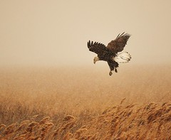 Hunting in the snow (Explored) (danny.mayan1386) Tags: snow bravo eagle awesome snowstorm baldeagle raptor eagles hunt eagleinflight bombayhook avianexcellence eagleinsnow photocontesttnc12