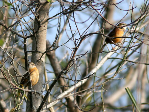 Carolina Wren pair 20101220