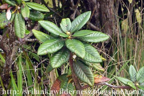 Maha-rath-mal (Rododendron arboreum ssp.zeylanicum)