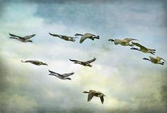 [フリー画像] 動物, 鳥類, カモ科, カナダガン, 群れ・大群, 201101020500