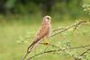 common kestrel (Gurusan2010) Tags: birds tamilnadu westernghats falcotinnunculus commonkestrel canoneos400d tamilnadubirds sigma120400 sigmaapoteleconverter2xex sigma120400with2xteleconverter